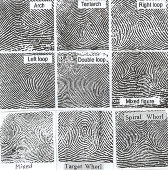 According to the statistics Loops constitute about 65 percent of the total fingerprints patterns; Whorls make up about 30 percent and Plain and Tented ...  sc 1 st  Springs Greeting Cards & FINGERPRINTS READING (1) u2013 Springs Greeting Cards
